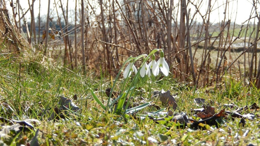 Though it's very cold, this snowdrop are already growing.